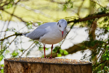 On a woodland feeding table an alert Black Headed Gull, in winter plumage, looks down at the food.