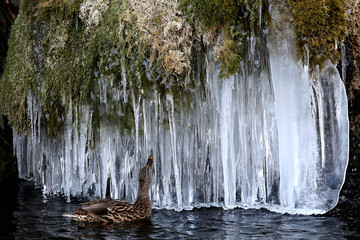 A duck looks at icicles at a pond in Bern