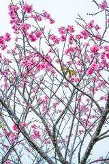 沖縄に咲く紅いヒカンザクラ、桜、寒緋桜