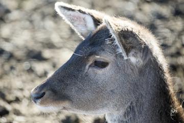 Animal portrait of fallow deer
