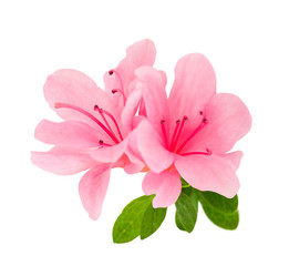 azalea flowers isolated
