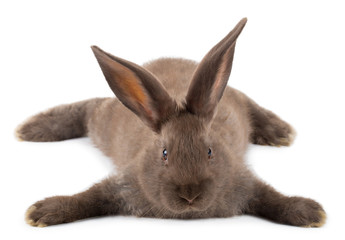 lying brown rabbit