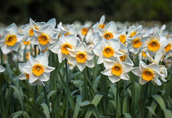 blooming white narcissus field