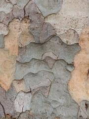 bark of a large plane tree