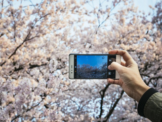 Hand holding Smartphone Take photo Cherry blossom Sakura spring season Japan tourist spot