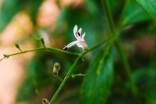 Andrographis paniculata flower closeup herb