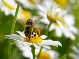 Honey bee worker on flower
