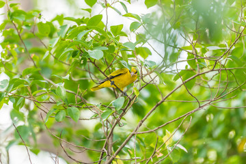 Bird (Black-Naped Oriole) in a nature wild
