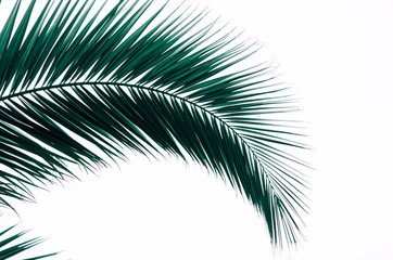 minimal tropic concept. leaves of palma (closeup)