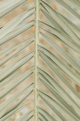 minimal tropic concept. leaves of palma (closeup)
