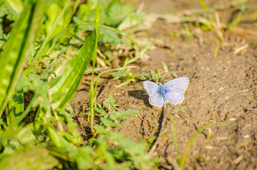 Butterfly, Common blue (Polyommatus icarus)
