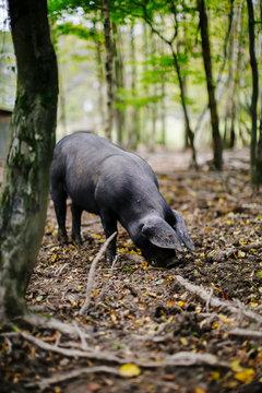 Pig hunting truffles