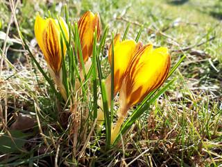 Der Frühling kommt. Die ersten Frühblüher blühen im Garten. Gelbe Krokusse. Crocus