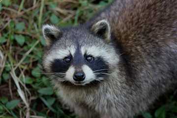 Racoon staring straight into the camera closeup of its face
