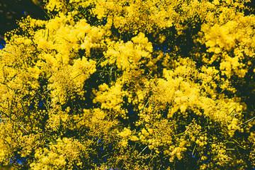 wattle tree in bloom