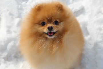 Pomeranian dog. Little fluffy little dog