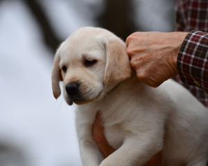 Seven Week Old Yellow Labrador Retriever Being Loved