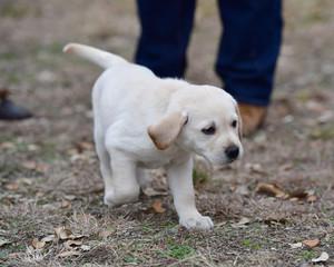Seven week old Yellow Labrador Retriever puppy running around the yard