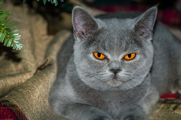 British Shorthair BGFreya Fantasy Avalon BSHa Blue
