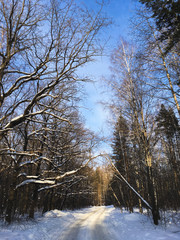 Russian winter pine forest in the freezing weather
