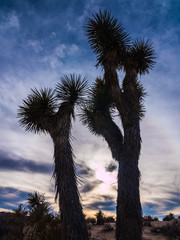 Joshua Trees Silhouette Against Moody Sky, California Desert