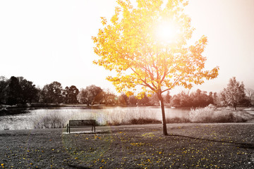 Sunlight Shines on Golden Yellow Tree and Park Bench
