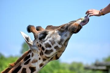Giraffe eating lettuc