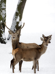 Red deer with family in winter