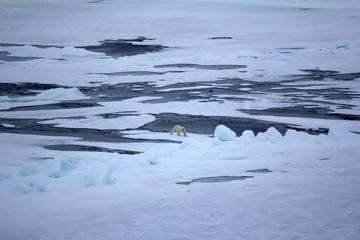 Foto op Aluminium Poolcirkel Withe Bear goes into expanses of Arctic ocean