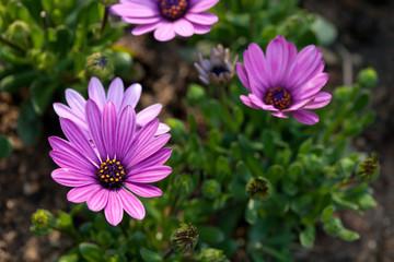 Flower purple of pink white gerbera