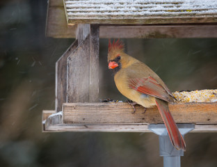 horizontal image, female northern cardinal eating seeds on wood feeder while snow falls