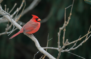 Red cardinals sitting on a branch, winter season. soft defocused background