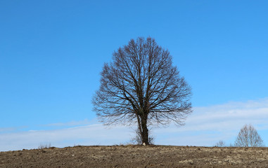 Bare linden tree, or Tilia cordata, in a minimalist winter scenery between a  brown plowed land and the blue sky