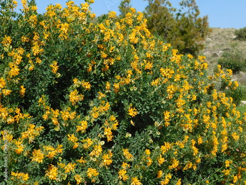 Medicago Or Alfalfa Arborea Or Moon Trefoil Wild Plant With