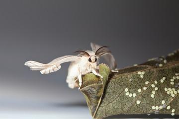 Silk worm moth on studio shot