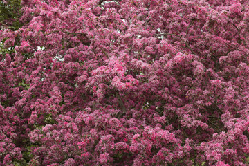 Image of a beautiful blossom apple-tree. The apple tree blooms in pink color. Concept: spring is coming!