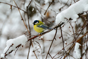 Titmouse sits on tree branch in winter.