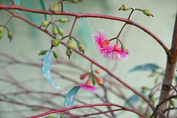 Blüten von Eucalyptus torquata