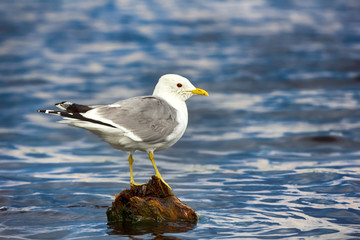 Common gull (Larus canus, adult)