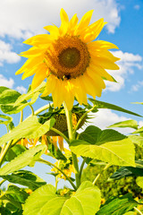 Printed roller blinds Sunflower colorful sunflower and blue sky