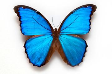 Butterfly specimen korea,Didiuseu molpo a butterfly