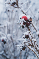 Wild rose berry covered by snow