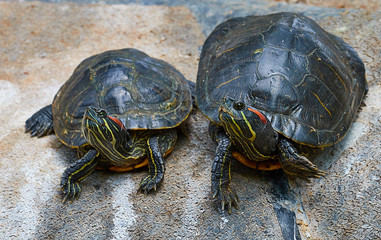 Two red-eyed turtles sitting on a rock