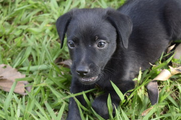 Filhote de cachorro com pelo negro deitado na grama