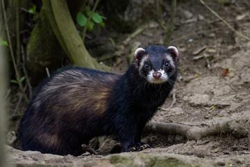 Dark ferret standing in front of its den Wall mural