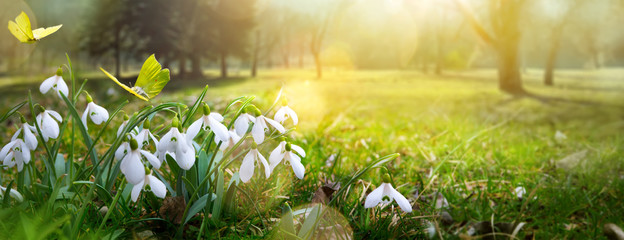 Fototapete - Easter spring flower background; fresh flower and yellow butterfly on green grass background