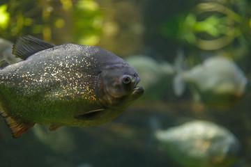 Wild piranha closeup in the aquarium.