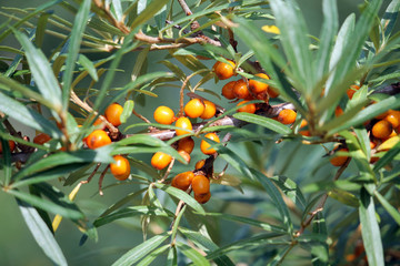 Branch of sea buckthorn with orange berries and green leaves