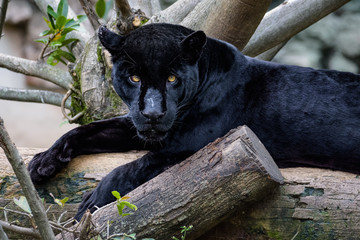 Papiers peints Panthère Black jaguar laying on a log