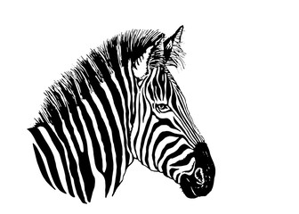 Graphical portrait of zebra isolated on white background,vector